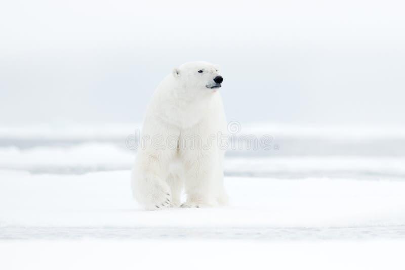 Ijsbeer op de rand van het afwijkingsijs met sneeuw en water in overzees Wit dier in de aardhabitat, Noord-Europa, Svalbard, Noor stock foto's