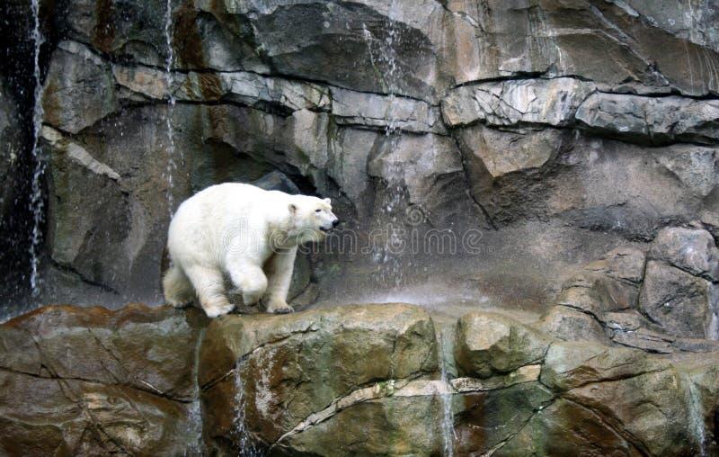 Ijsbeer op de rotsen royalty-vrije stock afbeeldingen