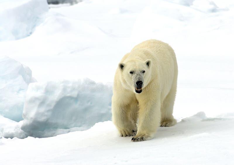 IJsbeer, oso polar, maritimus del Ursus imagenes de archivo