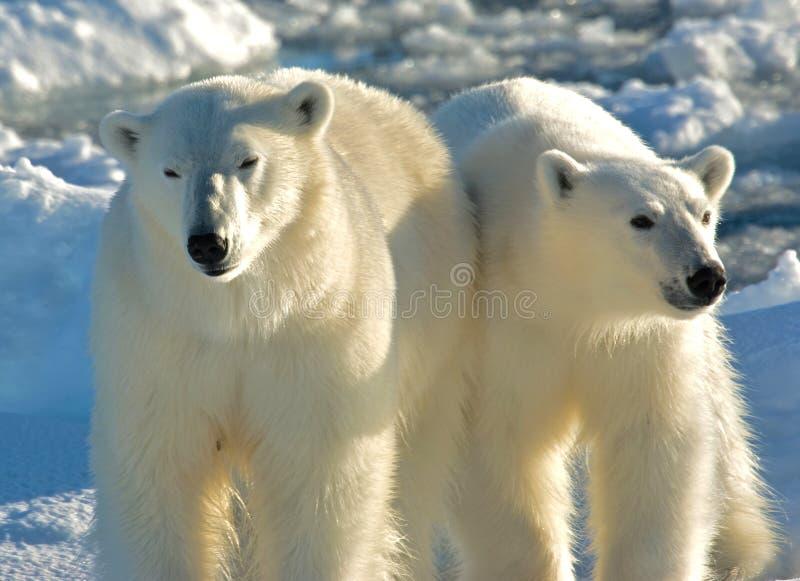 IJsbeer, oso polar, maritimus del Ursus fotos de archivo libres de regalías