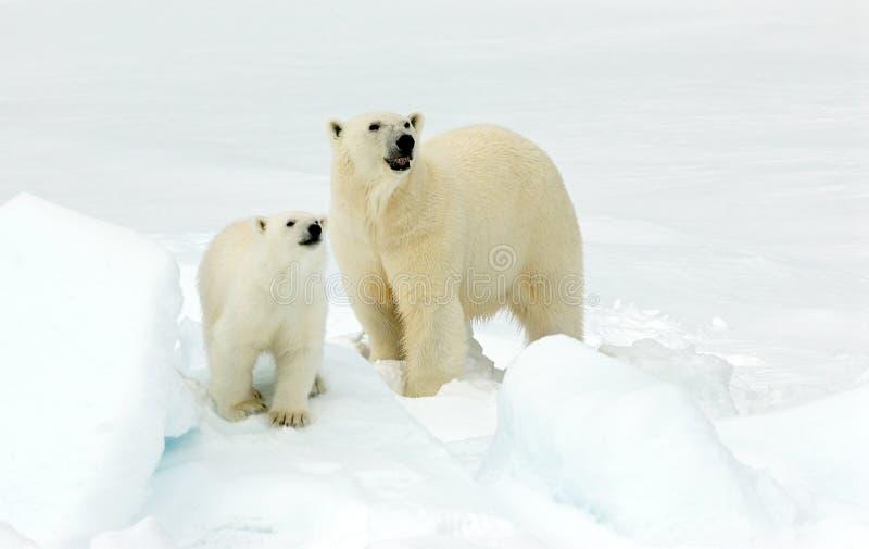 IJsbeer, oso polar, maritimus del Ursus imagen de archivo