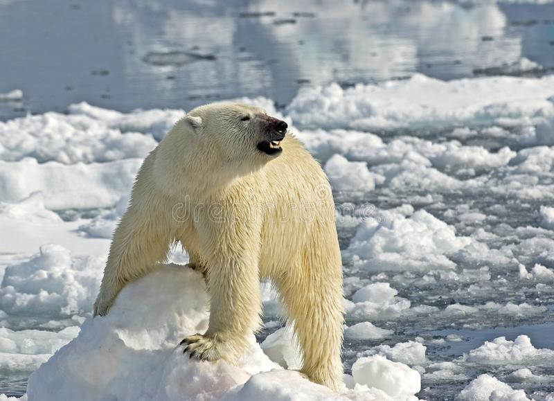 IJsbeer, Polar Bear, Ursus maritimus stock photography