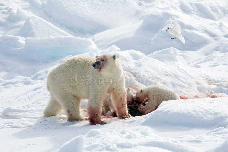 IJsbeer, Polar Bear, Ursus maritimus royalty free stock images