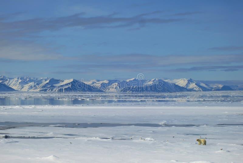IJsbeer Spitsbergen; Isbjörn Svalbard arkivbild