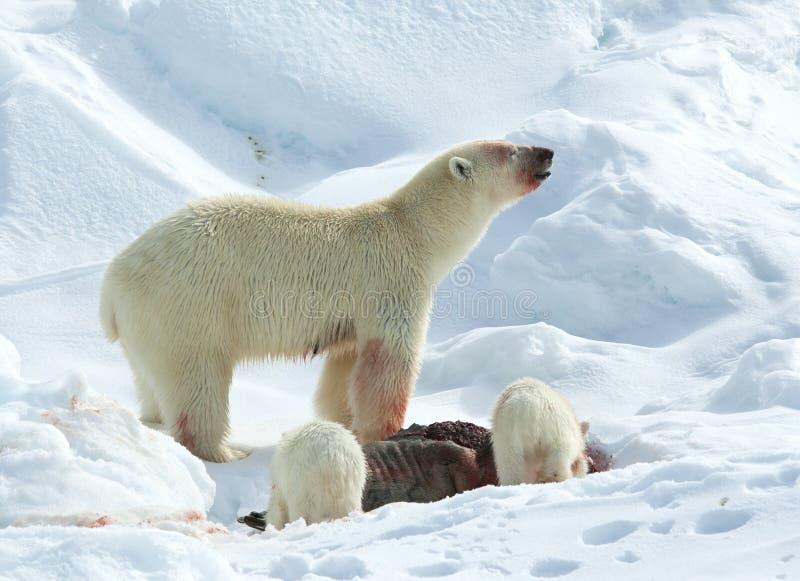 IJsbeer, urso polar, maritimus do Ursus fotos de stock