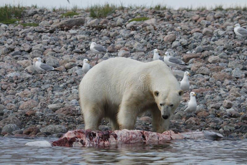 Ijsbeer Ursus die Maritimus een beloegawalvis langs de oever eten dichtbij Arviat, Nunavut royalty-vrije stock foto's