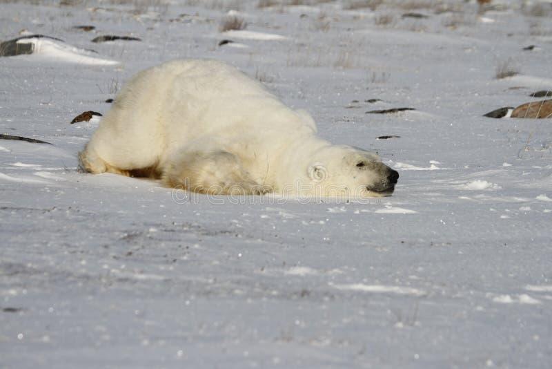Ijsbeer, Ursus die Maritimus, onderaan sneeuw glijden om koel te blijven dichtbij de kusten van Hudson Bay stock afbeelding