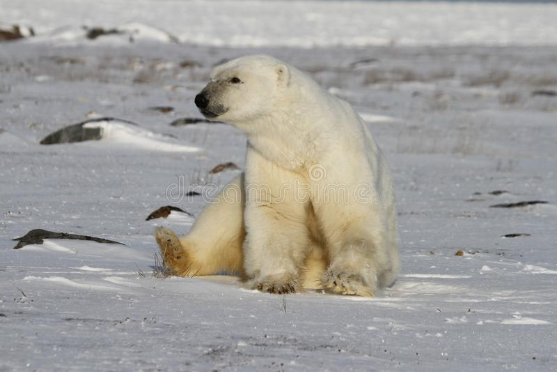 Ijsbeer, Ursus die Maritimus, op sneeuw zitten en weg in de afstand staren stock afbeelding