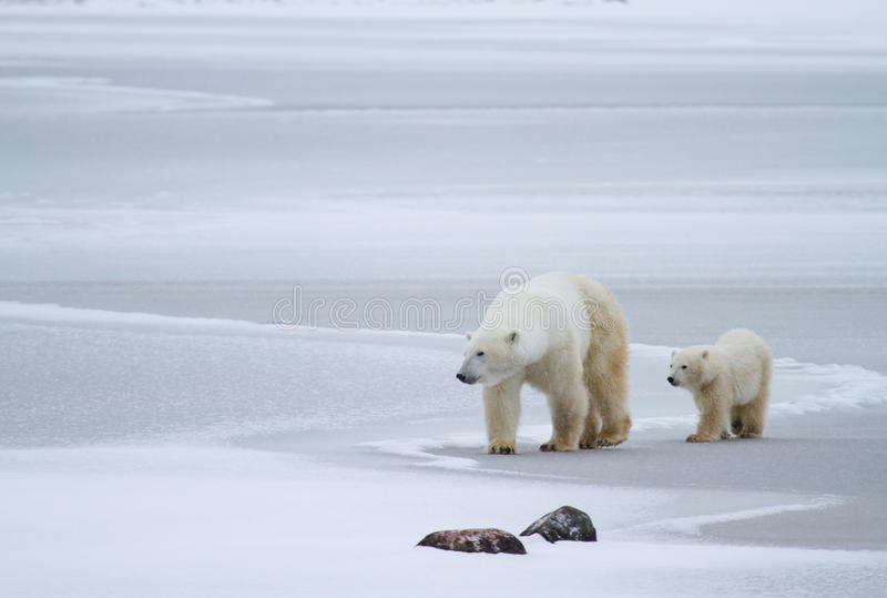 Ijsbeermamma en welp op ijs stock afbeelding