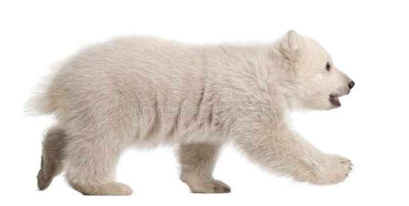 Ijsbeerwelp, Ursus maritimus, 3 maanden oud royalty-vrije stock fotografie