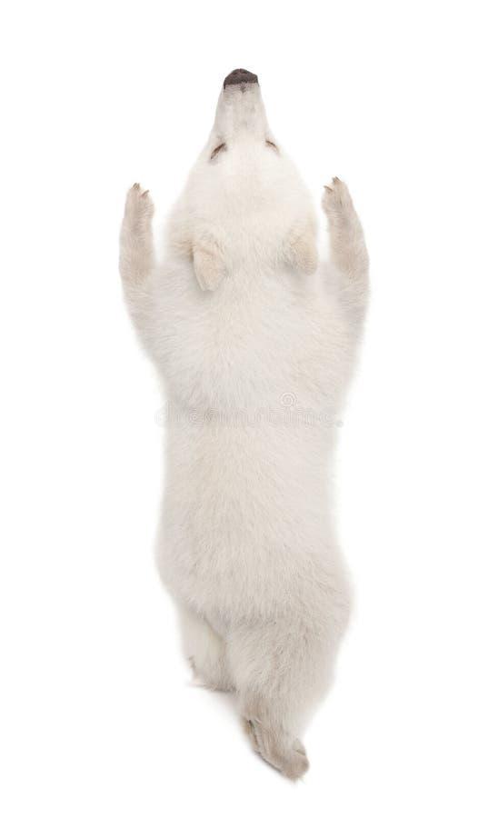 Ijsbeerwelp, Ursus maritimus, 6 maanden oud stock foto
