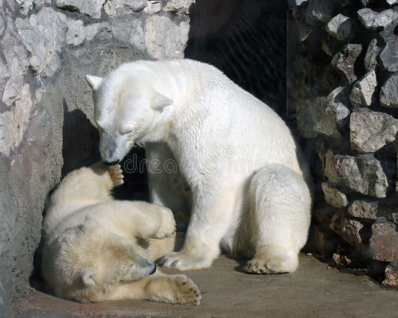 Ijsberen stock fotografie
