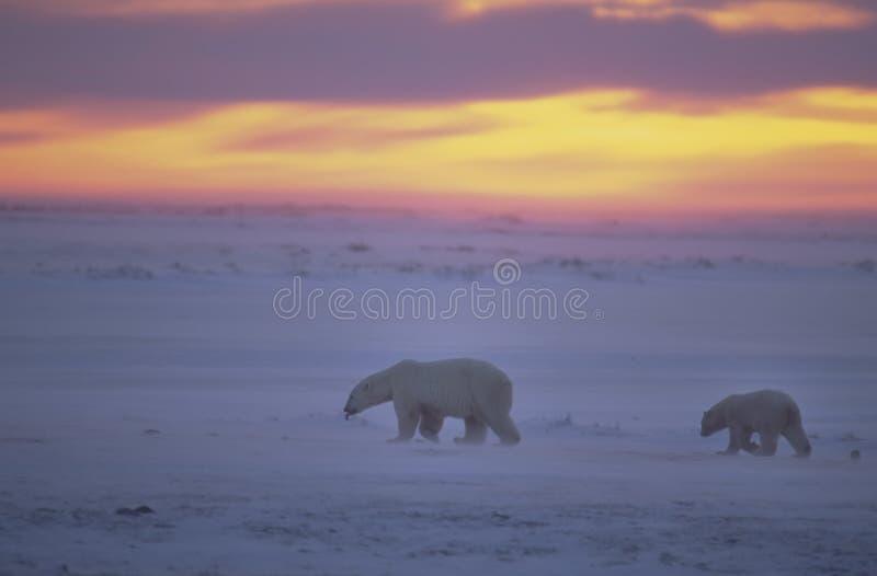 Ijsberen bij zonsondergang in het Canadese Noordpoolgebied royalty-vrije stock afbeeldingen