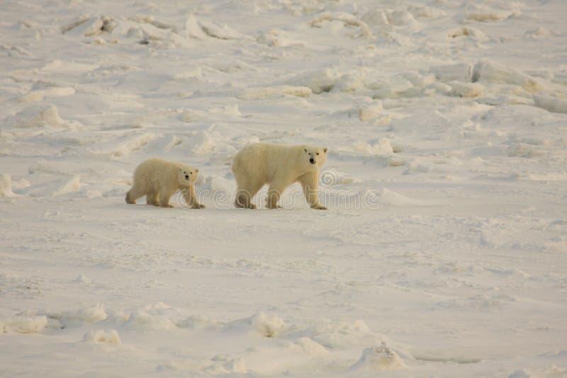 Ijsberen in de noordpoolsneeuw stock foto's
