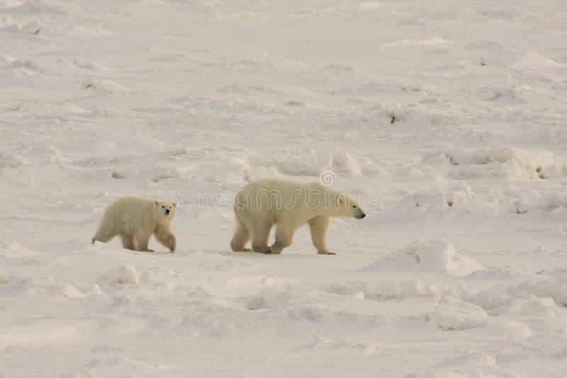 Ijsberen in de noordpoolsneeuw royalty-vrije stock afbeelding