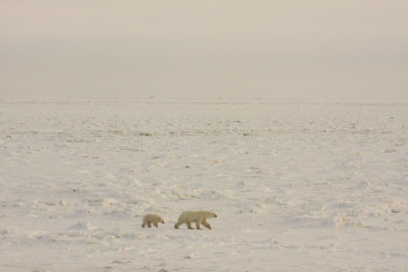 Ijsberen in de noordpoolsneeuw royalty-vrije stock afbeeldingen