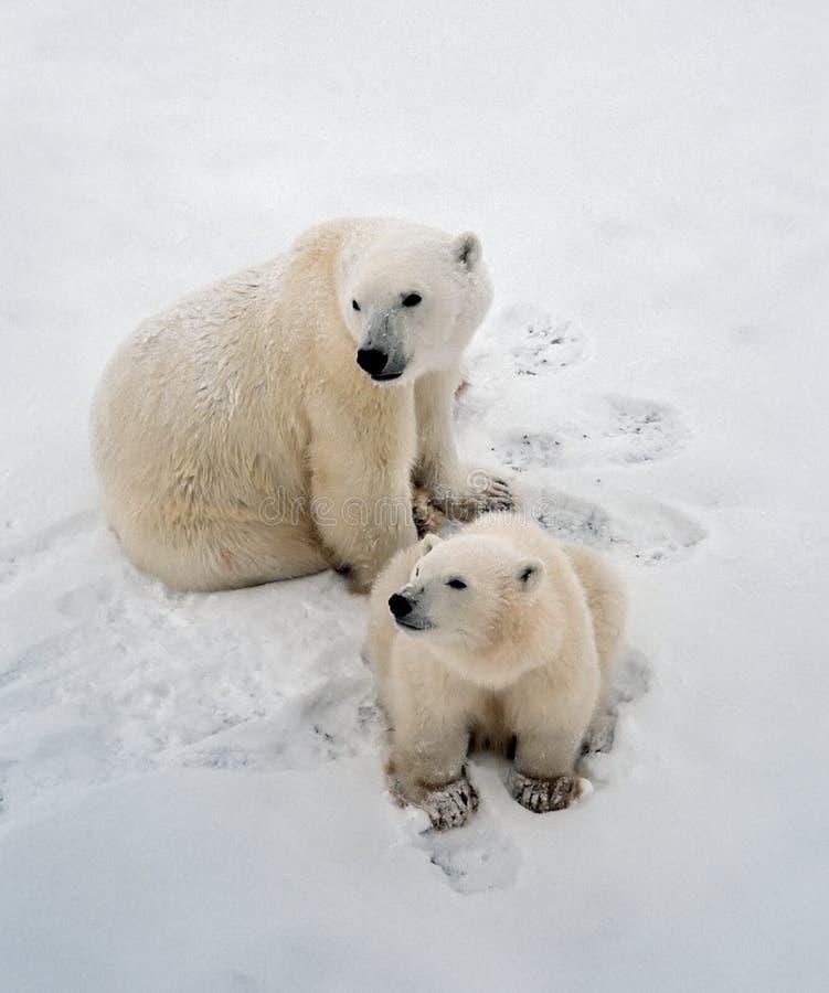 Ijsberen in het Noordpoolgebied Canadiab royalty-vrije stock foto's