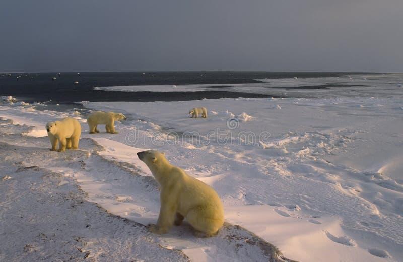 Ijsberen op de oever van de Baai van Hudson stock foto