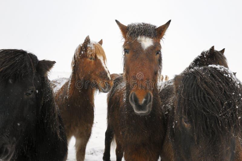 Ijslands Paard royalty-vrije stock afbeelding