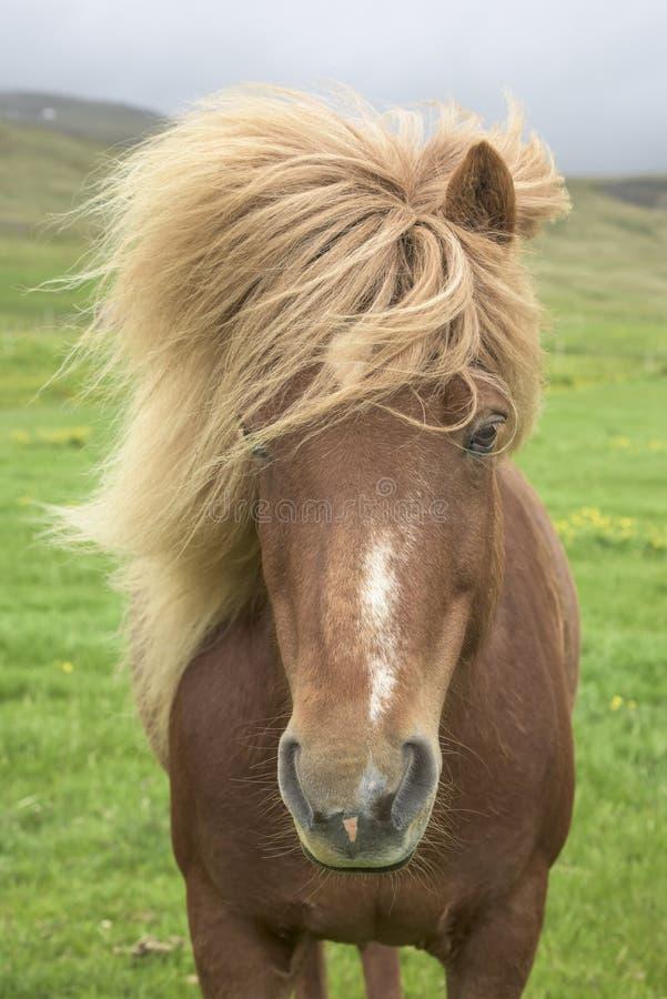 Ijslands paard stock foto