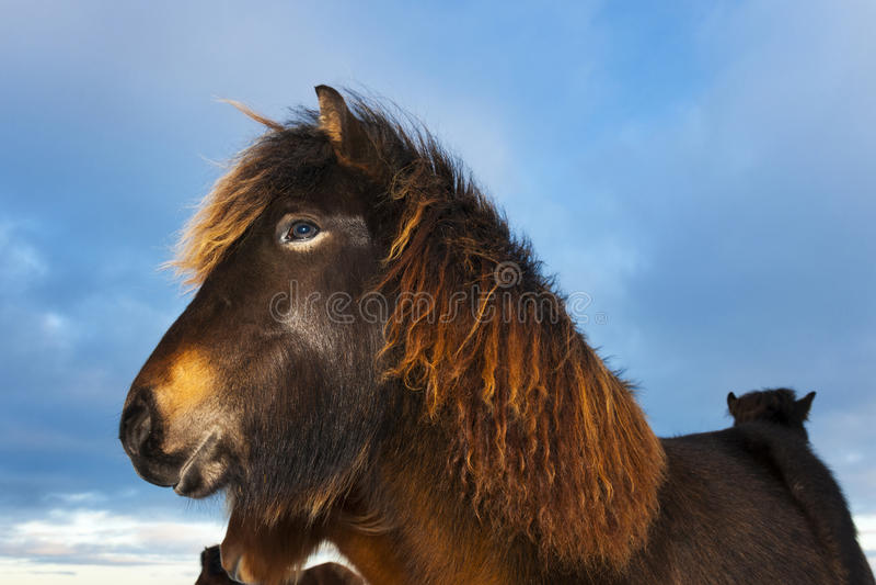 Ijslands Paard (Eguus-cabballus) portret royalty-vrije stock foto's
