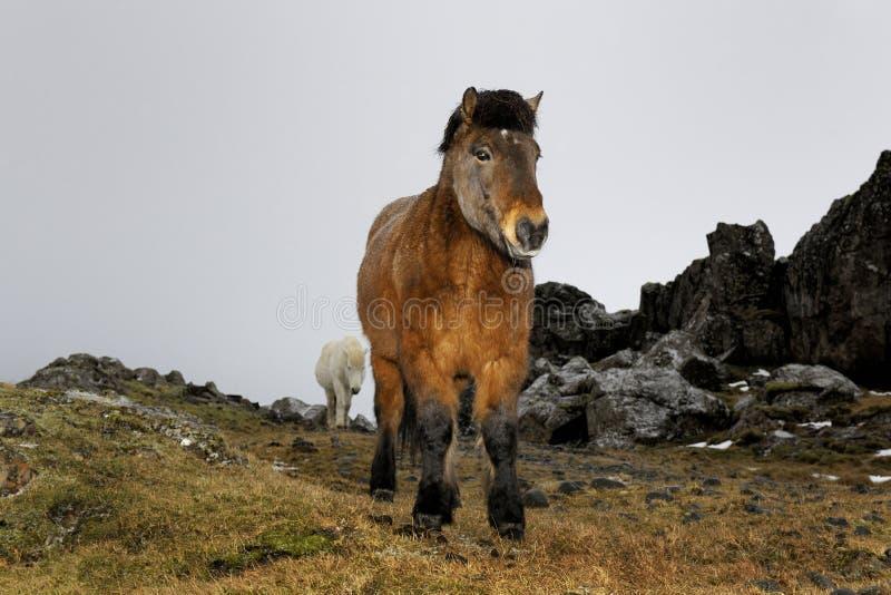 Ijslands paardportret stock afbeelding
