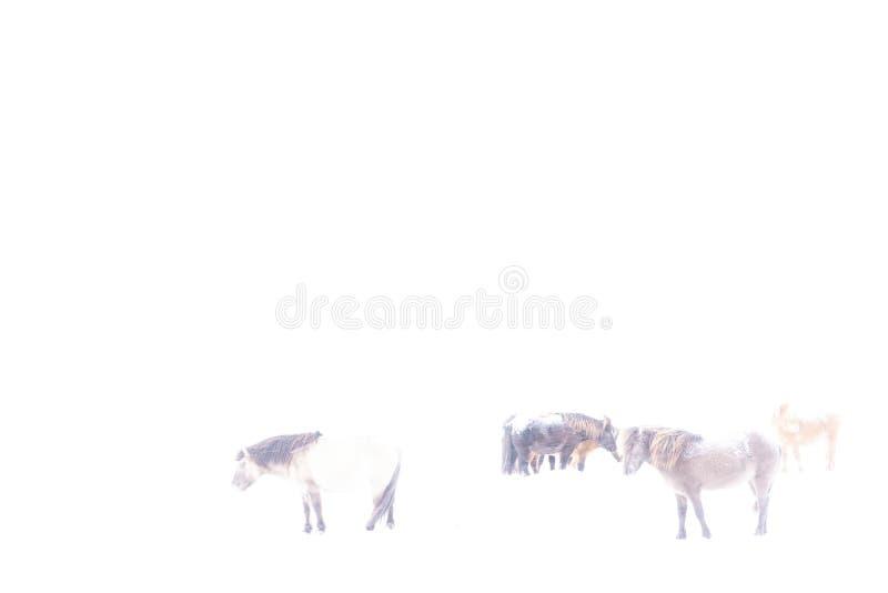 Ijslandse die paarden in de winter, in hikey worden gefotografeerd royalty-vrije stock afbeeldingen
