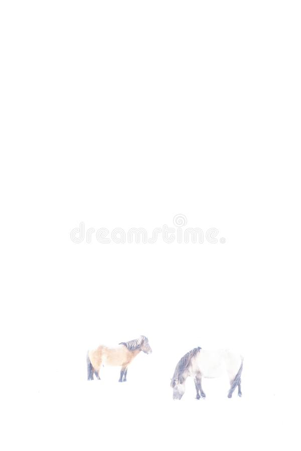 Ijslandse die paarden in de winter, in hikey worden gefotografeerd royalty-vrije stock foto
