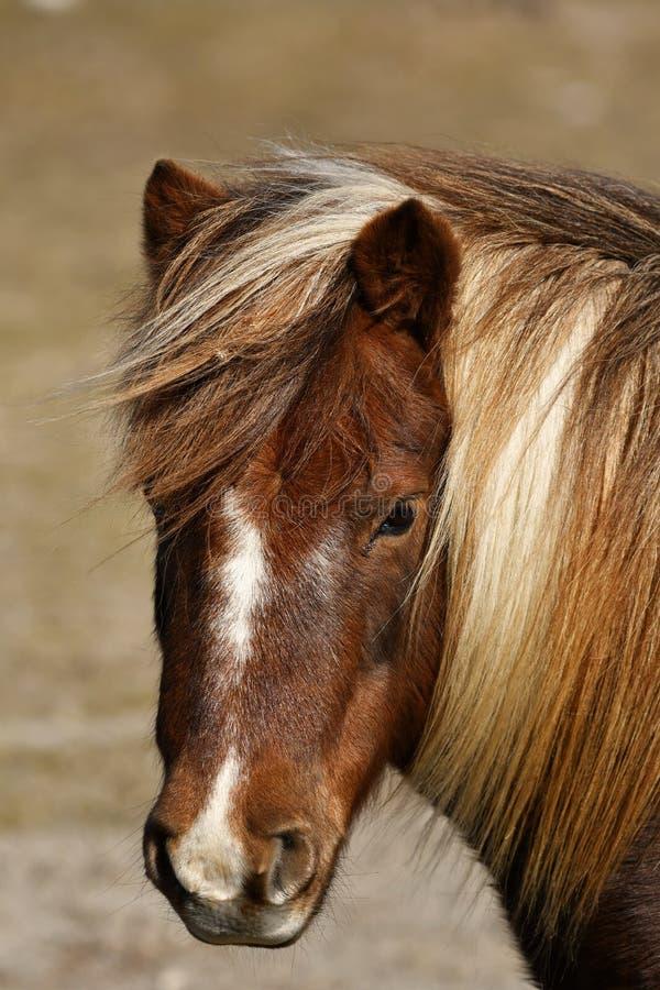 Ijslandse paard bruine merrie royalty-vrije stock afbeelding