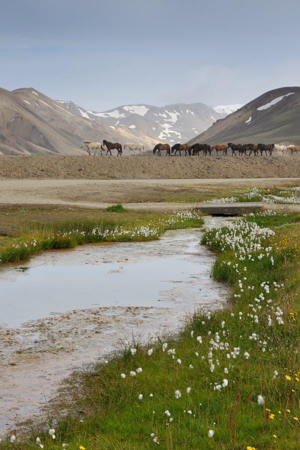 Ijslandse Paarden stock afbeeldingen