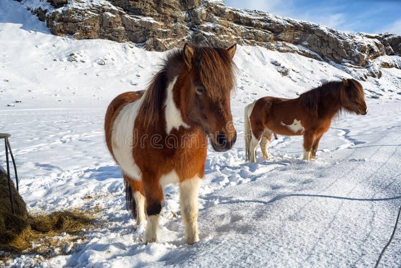 Ijslandse paarden in de winter stock afbeelding