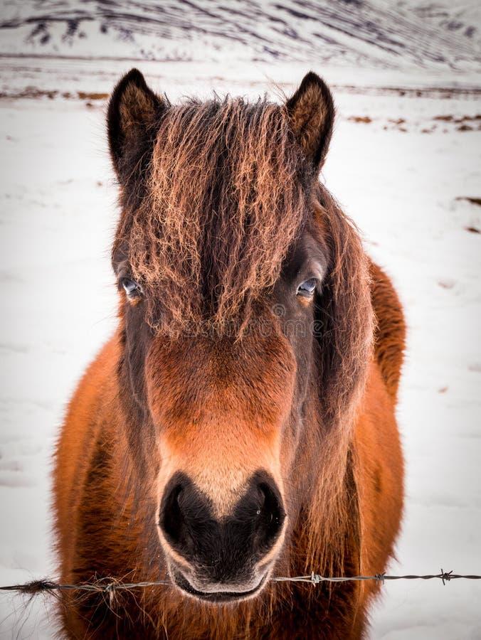 Ijslandse paarden in de winter, IJsland stock afbeelding