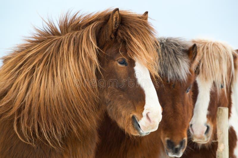 Ijslandse paarden in de winter, IJsland stock afbeeldingen