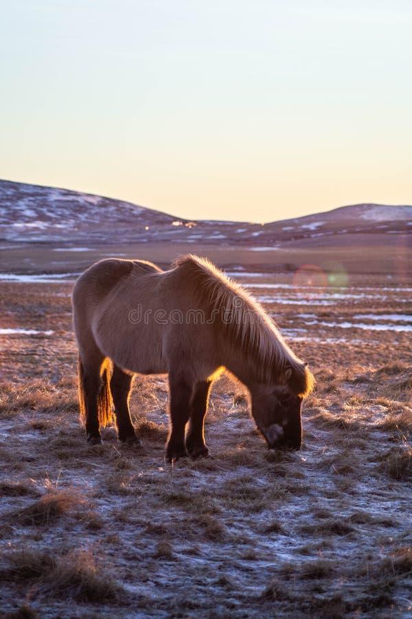 Ijslandse paarden in de winter, Noord-IJsland royalty-vrije stock foto's