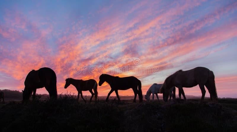 IJslandse paarden in het veld tijdens de zonsondergang, het landschap van de landschappelijke natuur van IJsland stock foto