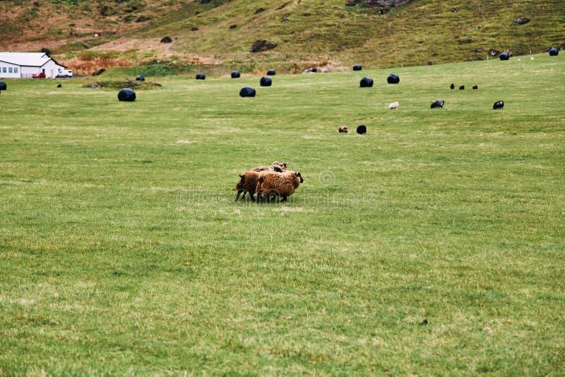 Ijslandse schapen die op een groen weiland in IJsland weiden stock foto's