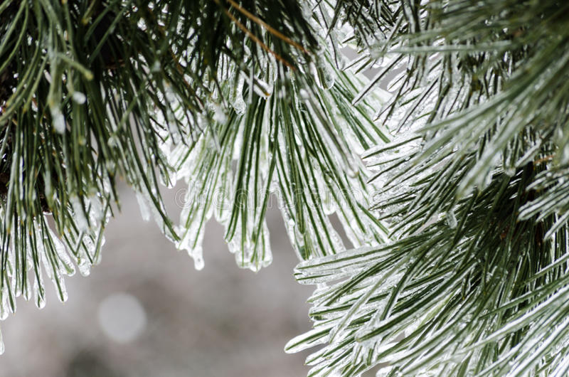 Ijspijnboom in backlight stock foto's