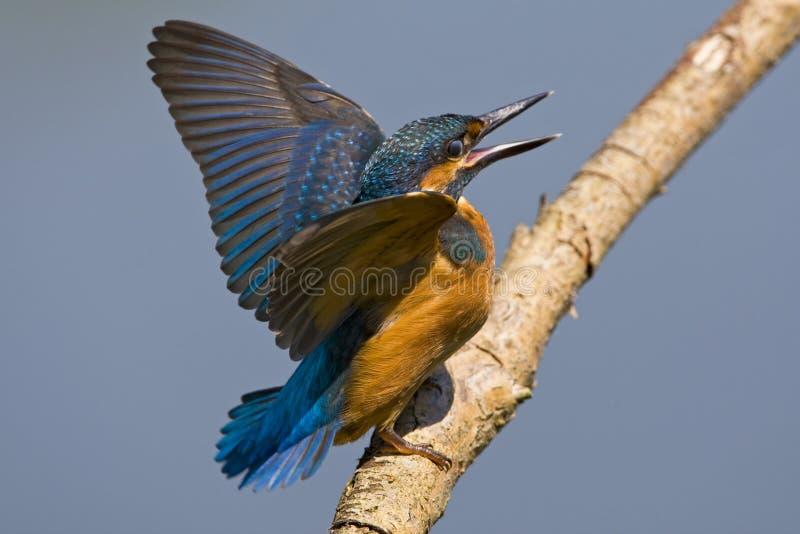 IJsvogel,共同的翠鸟,翠鸟属Atthis 免版税图库摄影