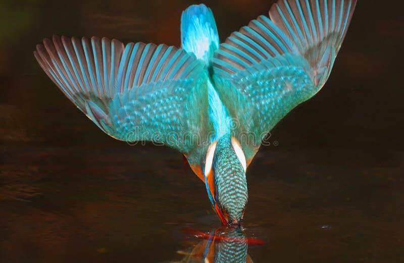 ijsvogel royalty-vrije stock fotografie