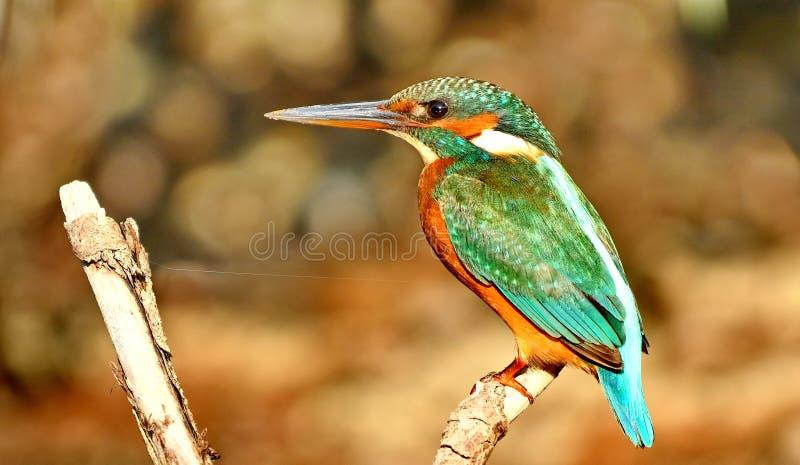 Ijsvogel Alcedo Atthis stock afbeelding