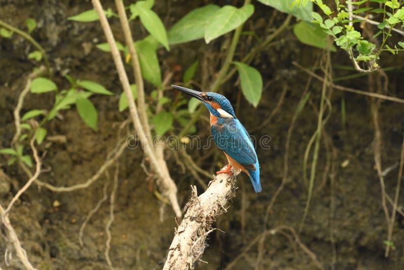 Ijsvogel Alcedo Atthis royalty-vrije stock fotografie