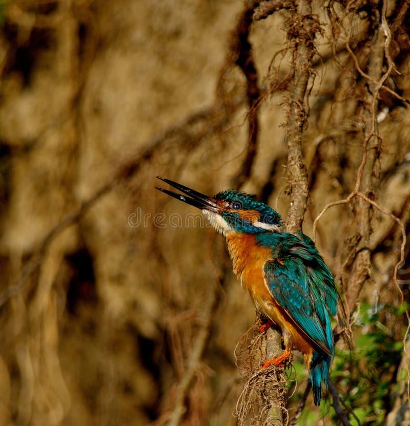 Ijsvogel Alcedo Atthis royalty-vrije stock afbeelding