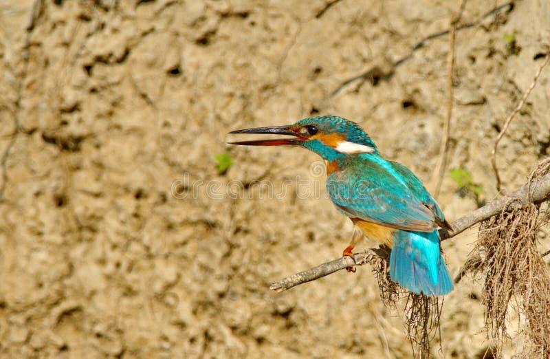 Ijsvogel Alcedo Atthis royalty-vrije stock afbeeldingen