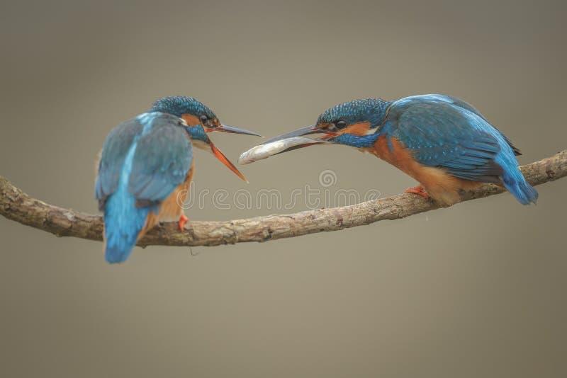 Ijsvogel, Alcedo-atthis, die haar partner verzoeken royalty-vrije stock fotografie