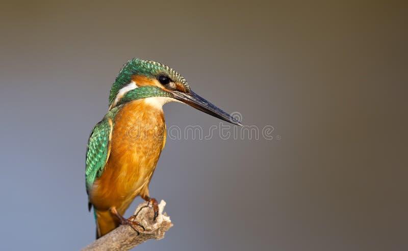 Ijsvogel (atthis Alcedo) royalty-vrije stock fotografie