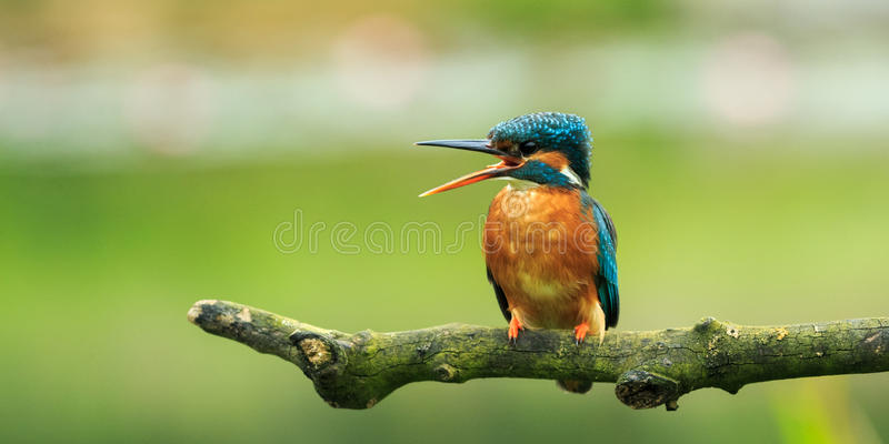 Ijsvogel (atthis Alcedo) stock afbeelding