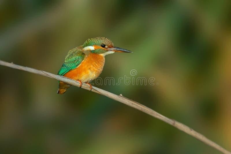 Ijsvogel - atthis Alcedo royalty-vrije stock afbeeldingen