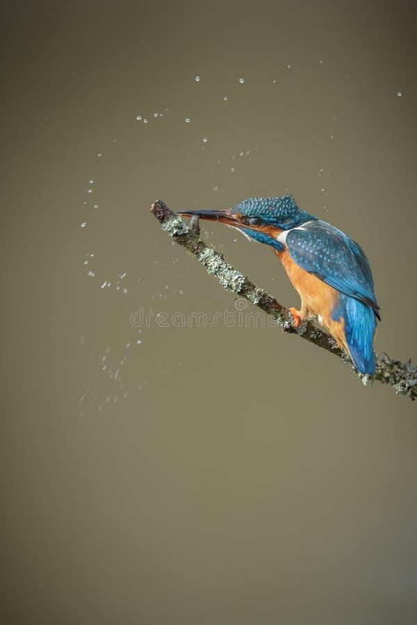 Ijsvogel die haar prooi overweldigen royalty-vrije stock afbeelding