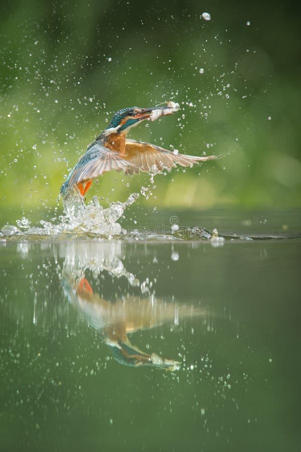 Ijsvogel met vangst. royalty-vrije stock afbeelding