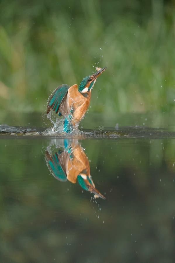 Ijsvogel met vangst stock afbeeldingen